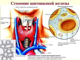 What is the thyroid gland, the main terms, hormones, problem symptoms and treatment methods